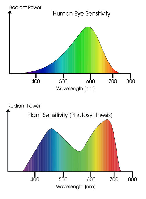 Human Eye Sensitivity and Photosynthesis